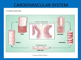 cardiovascular system the heart structure right ventricle septum