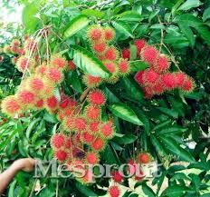 aliexpress buy 5pcs rambutan seed fruits malaysia