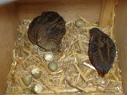 Backyard Quail Pens And Quail Housing by Raising Of Quails For Profit Meat Eggs Famous Breeds And Their