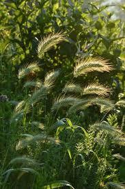 canada rye seeds elymus canadensis 100 wildflower