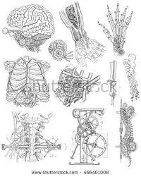anatomical drawing stock images royalty free images u0026 vectors