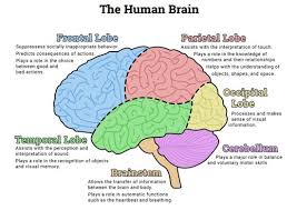 Picture Diagram Of The Human Body Best 25 Brain Diagram Ideas On Pinterest Neurology Human Brain