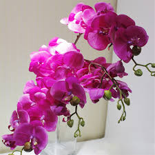 6p touch orchids butterfly phalaenopsis white fuchsia pink