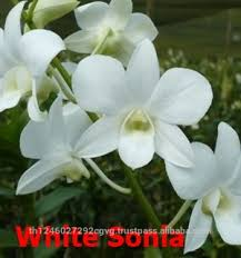 fresh cut orchid white sonia dendrobium buy orchid orchid