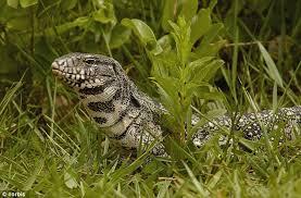 Seeking Lizard Cast South American Tegu Lizard Is Species To Invade Florida