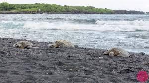 black sand beach hawaii punaluu black sand beach hawaii turtles black sand icy waters