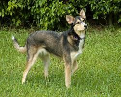 australian shepherd wolf mix a beginner u0027s guide to husky golden retriever mix with pictures