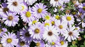 Wedding Backdrop Hd 4k Purple Daisy Wedding Background Wildflower Flowers Plants Bloom