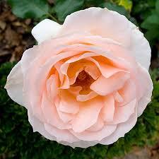 White Roses For Sale Apricot Drift Roses Apricot Drift Roses For Sale Fast Growing
