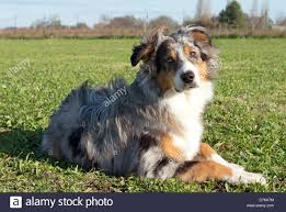 australian shepherd blue heeler dog australian shepherd aussie puppy stock photos u0026 dog australian