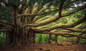 the tree of knowledge is not an apple or an oak but a banyan aeon
