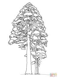 giant sequoia or redwood coloring page free printable coloring pages