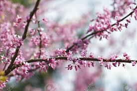 showy pink flowers of redbud tree in full bloom in spring contrast