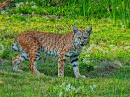 Kentucky wild animals images Wildlife officials ignore return of mountain lions to the blue jpg