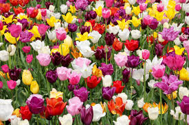 Tulip Field Free Images Holland Dutch Tulips Spring Flower Bayreuth