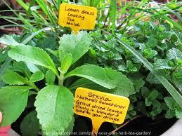 herb grow your own herb tea garden the micro gardener