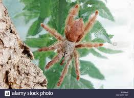 tarantula spiders stock photos tarantula spiders stock images