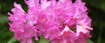 State Flower Of Montana - west virginia state flower the rhododendron proflowers blog