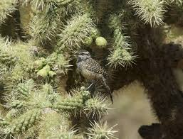Canopy Birds by Butler U0027s Birds Organ Pipe National Monument More Like Organ Grinder