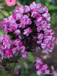Phlox Flower Butonik U0027 Daylily Phlox Eu
