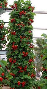 compare prices on creeper plants online shopping buy low price