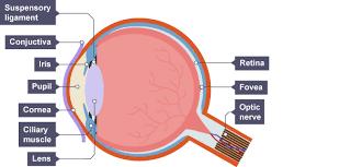Pathway Of Light Through The Eye Bbc Bitesize Gcse Biology The Nervous System Revision 5