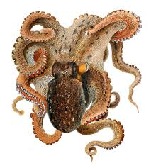common octopus wikipedia