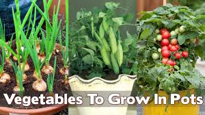 Vegetable Gardening In Pots by 15 Easiest Vegetables To Grow In Pots For Beginners Youtube