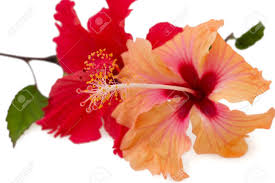 hibiscus flowers stock photos royalty free hibiscus flowers
