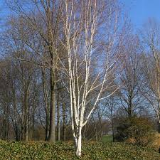 multi stem betula utilis jacquemontii snow birch multistem