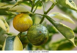 small orange tree fruit on stock photos small orange tree fruit