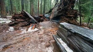 Chandelier Drive Through Tree Why California U0027s Ancient Sequoia U0027tunnel Tree U0027 Toppled