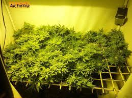 chambre de culture 1m2 culture de cannabis en scrog du growshop alchimia