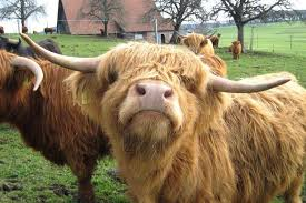 25 pictures cute highland cows melt