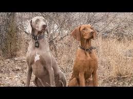 weimaraner vs afghan hound weimaraner breed video funnydog tv