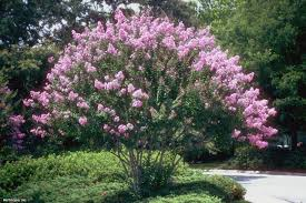 choosing the right crape myrtle for your landscape hgtv