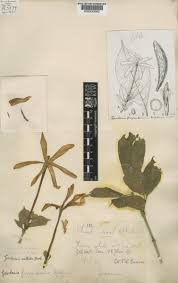 gardenia nitida hook plants of the world online kew science