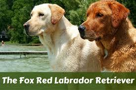 fox red labrador retriever labrador training hq