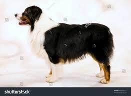 australian shepherd fabric show champion australian shepherd tricolor dog stock photo