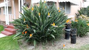 birds of paradise flower birds of paradise flowers plant
