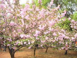Flowering Cherry Shrub - japanese flowering cherry tree seeds prunus serrulata zhong wei