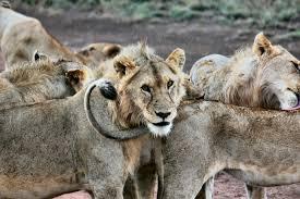 imagenes de leones salvajes gratis fotos gratis grupo aventuras fauna silvestre zoo macro león