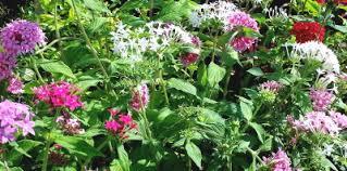 Pentas Flower Kartuz Greenhouses Pentas To Plumbago