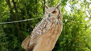 the indian eagle owl also called the rock eagle owl or bengal eagle