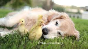 dog adopts baby ducklings youtube