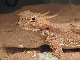 Seeking Lizard Review Kingsnake Kingsnake California Dfw Seeks Info On