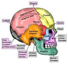 Human Anatomy Skull Bones 28 Best Anatomy U0026 Physiology Extra Practice Images On Pinterest