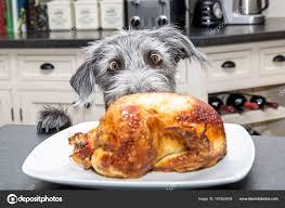 chien cuisine chien cuisine poulet rôti regardant avec grands yeux heureux