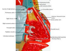 Sheep Heart Anatomy Quiz Denoyer Geppert Heart Human Anatomy Web Site