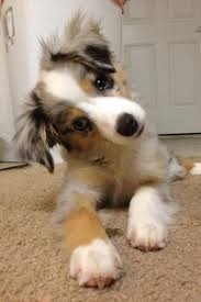 a mini australian shepherd 185 best images about critters on pinterest